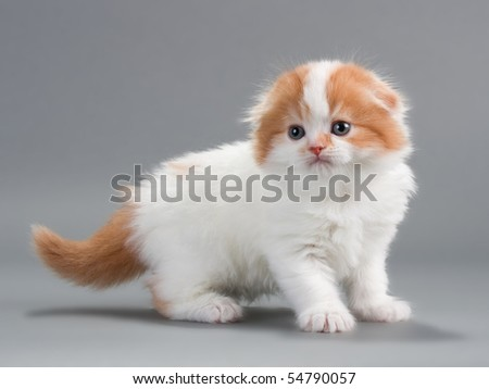 Kitten scottish fold breed on gray. No isolated.