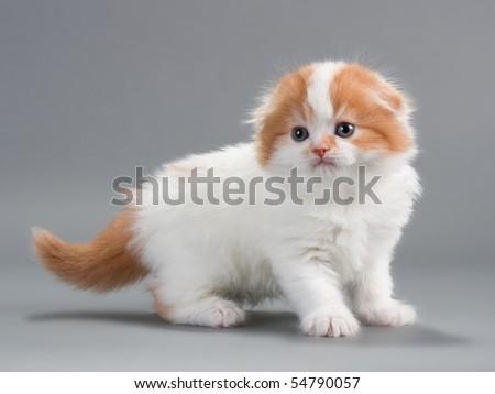 Kitten scottish fold breed on gray. No isolated. - stock photo