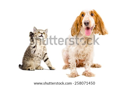 Kitten Scottish Straight attacks dog  of breed Russian spaniel sitting isolated on white background - stock photo