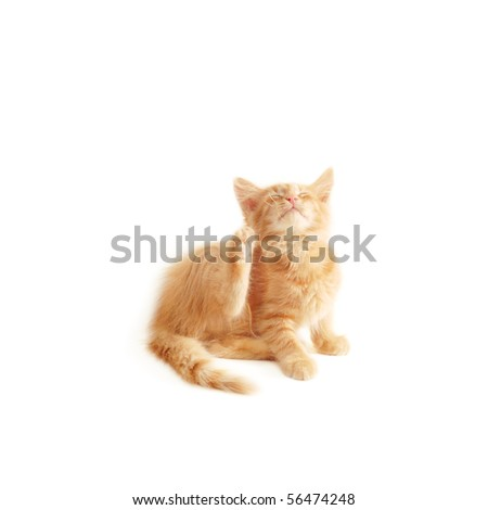 kitten scratching isolated on white background - stock photo