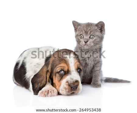 Kitten sitting with  basset hound puppy. isolated on white background - stock photo