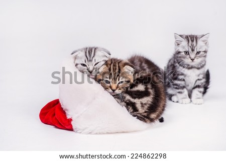 Kitten sleeping in a hat. Four gift kittens played with a cap of Santa Claus on Christmas while kitty sitting in a Santa hat on an isolated white background on Christmas Eve - stock photo