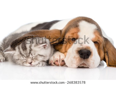 Kitten sleeping under the ear basset hound puppy. isolated on white background - stock photo