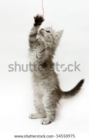 Kitten standing on hind legs playing with a strap