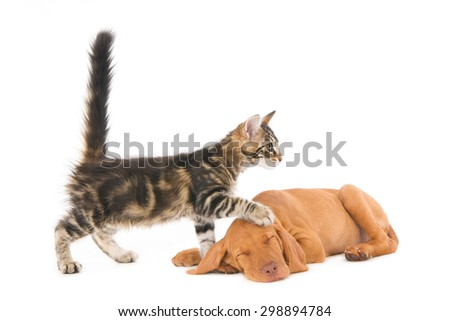 Kitten stepping up a sleeping Magyar Vizsla puppy dog, isolated on white. - stock photo