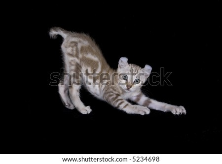 Kitten stretching on black background - stock photo