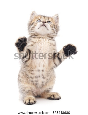 Kitten that looks up isolated on a white background.