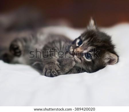 kitten, toned image. Cute Tabby Cat, Pets care. Photo toned.  - stock photo