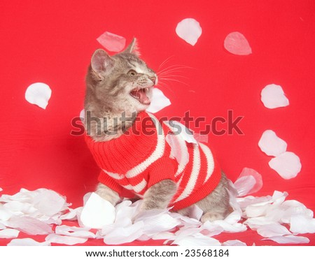 Kitten wearing sweater is showered by white rose petals on a red background for use as valentines day art