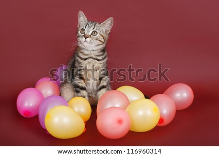 kitten with balloons on burgundy background. - stock photo