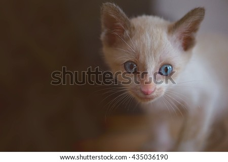 Kitten with blue eyes in the darkness background