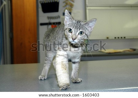 kitten with broken leg - stock photo