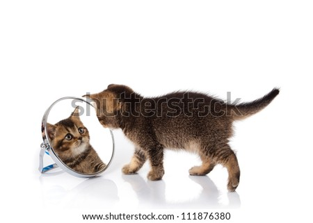 kitten with mirror on white background. kitten looks in a mirror. - stock photo