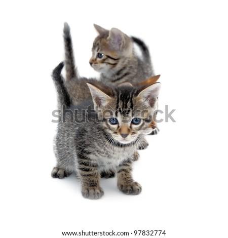 Kittens (American Short hair)  Isolated on White - stock photo