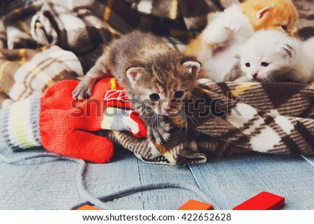 Kittens and mittens. White, Red and grey newborn kittens in a plaid blanket. Sweet adorable tiny kittens on a serenity blue wood play with cat toy and mittens. Funny kittens crawling and meowing - stock photo