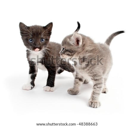 kittens isolated on white background - stock photo