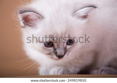 Kittens isolated, Sacred cat of burma