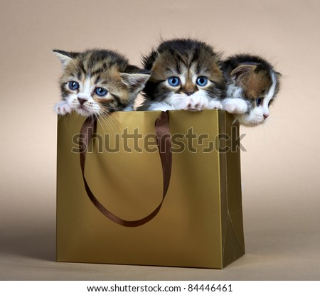 Kittens of the British breed. Age - 1 month - stock photo