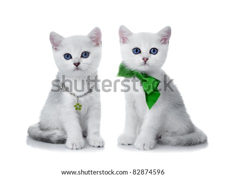 Kittens of the British breed. Rare coloring - a silvery chinchilla ? - stock photo