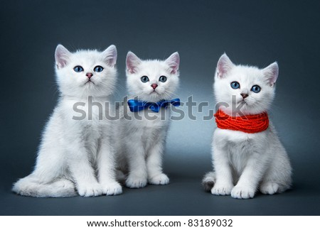 Kittens of the British breed. Rare coloring - a silvery chinchilla - stock photo
