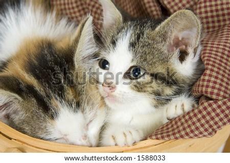 Kittens resting inside of a basket - stock photo