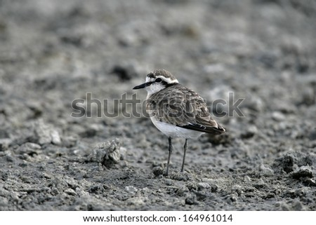 Kittlitz's plover, Charadrius pecuarius, single bird on ground, Tanzania - stock photo