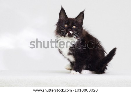 kitty maine coon black and white sitting and looking