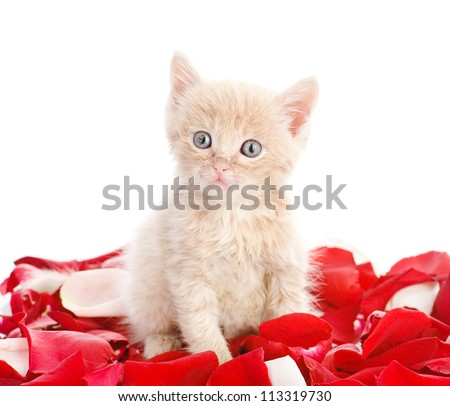 kitty with pink rose petals. isolated on white background - stock photo