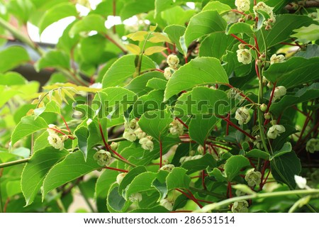 kiwi flowers and plant (actinidia) as agriculture background - stock photo