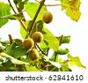 Kiwi fruit on the tree - stock photo