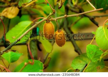 Kiwi on a branch - stock photo