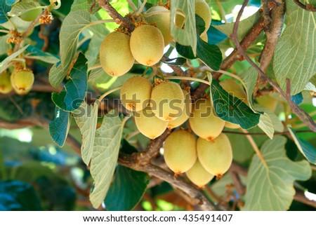 Kiwi tree stock images royalty free images vectors for Albero di kiwi