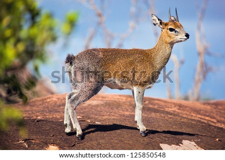 Klipspringer, a small antelope standing on rock. Safari in Serengeti, Tanzania, Africa