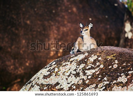 Klipspringer, a small species of African antelope lying on rocks. Safari in Serengeti, Tanzania, Africa
