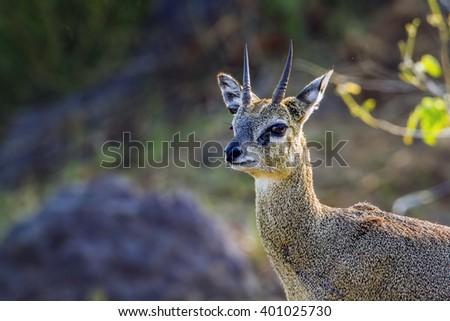 Klipspringer  in Kruger national park, South Africa ; Specie Oreotragus oreotragus family of bovidae - stock photo