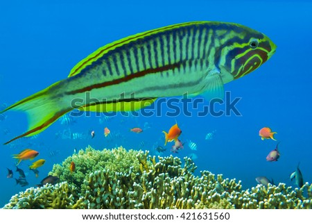 Klunzinger's wrasse (Thalassoma rueppellii) on the coral reef - Red Sea