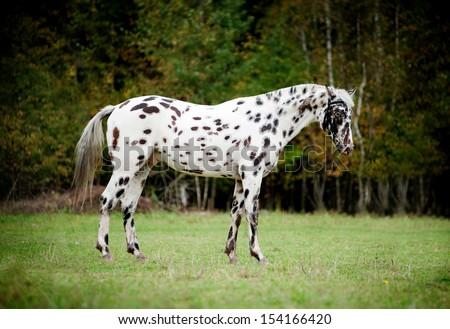 knabstrup appaloosa horse - stock photo