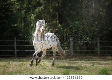 knabstrup appaloosa horse trotting in a meadow, appaloosa horse a white horse with black spots running - stock photo