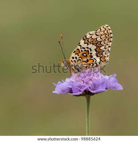 Knapweed Fritillary (Melitaea phoebe) on a very beautiful purple flower