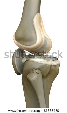 Knee Bone Human Knee 3d Rendered Knee Illustration Pain Illustration Knee Side 3d