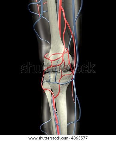 Knee Bones, Arteries, Veins - stock photo