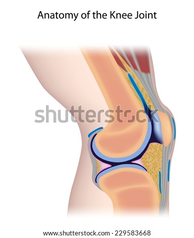 Knee joint anatomy unlabeled. - stock photo