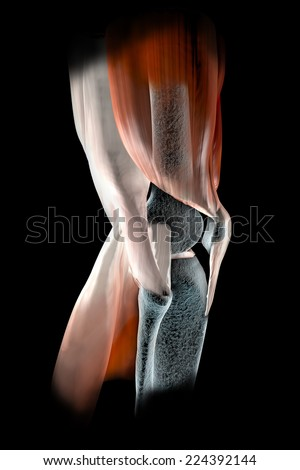 Knee ligaments, tendons, bones, muscles x-ray   - stock photo