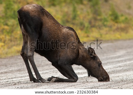 Kneeling cow Western Moose (Alces alces andersoni) drinking water from the rain in the middle of the road. Alberta, Canada, North America.