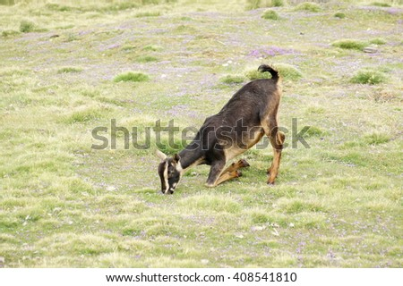 Kneeling goat od pasture near Geech camp, Simien mountains, Ethiopia - stock photo