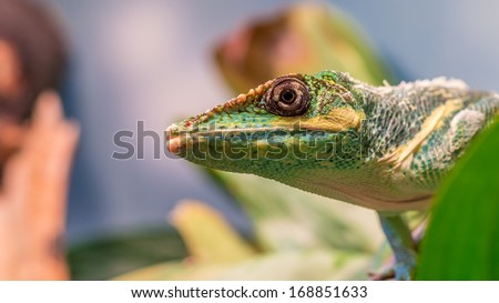 Knight anole (Anolis equestris) from the side looking up