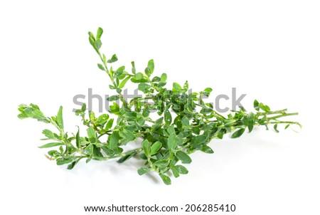 Knotweed or polygonum aviculare  isolated on white background - stock photo