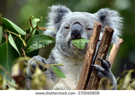 Koala at Lone Pine Koala Sanctuary Brisbane - stock photo