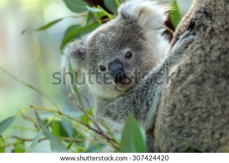 koala baby after the mother clinging to a tree. - stock photo