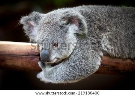 Koala bear holding on to a branch - stock photo